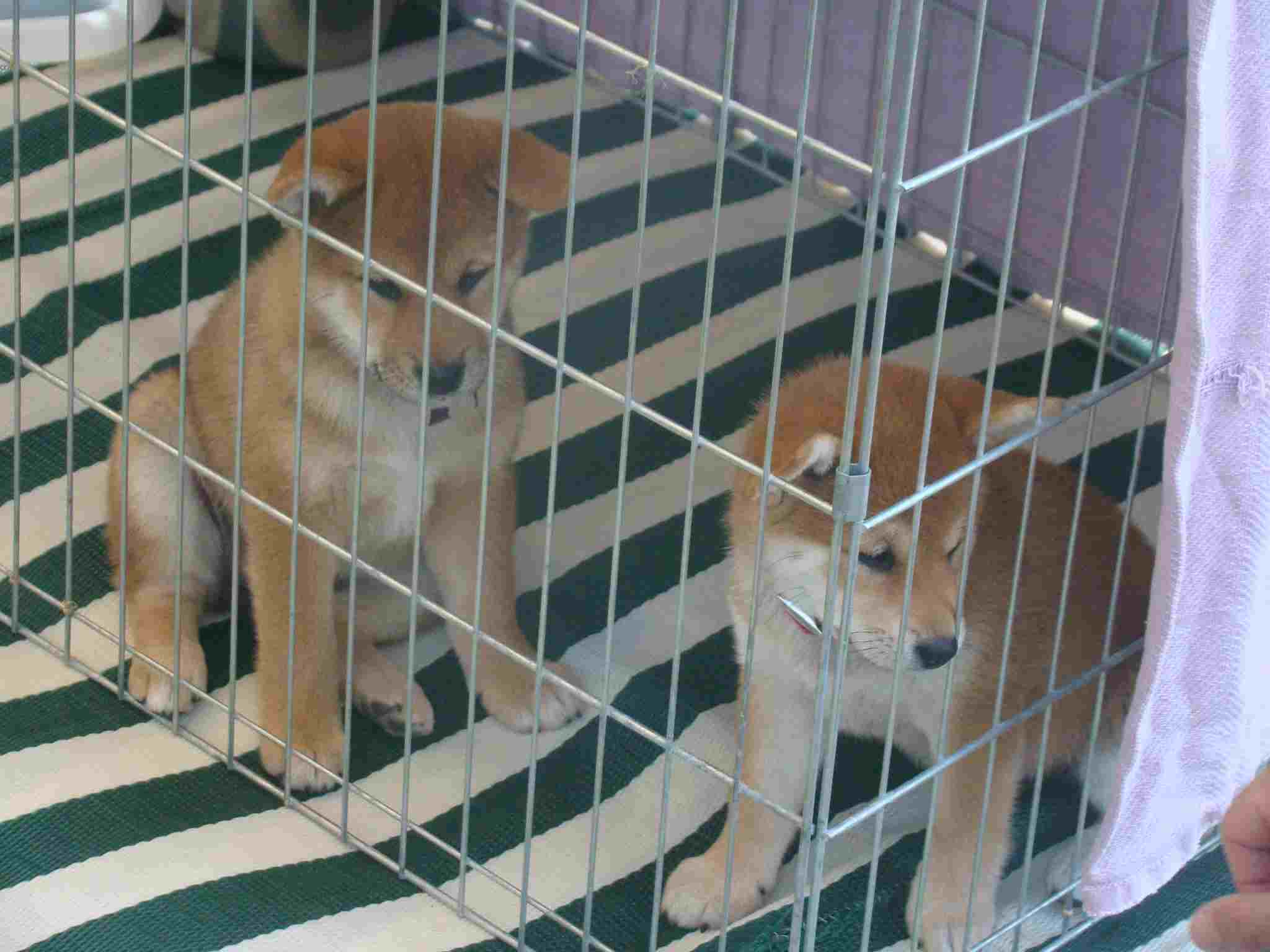 Two dogs in one crate? cheap solution or a time bomb!