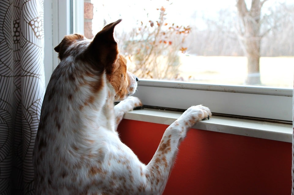 Dog with separation anxiety