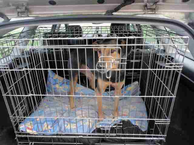 dog travel by car in his crate
