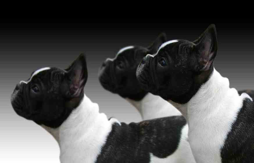 Crate training a french bulldog detailed guide