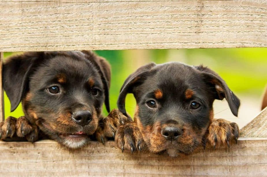 Crate training a Rottweiler puppy