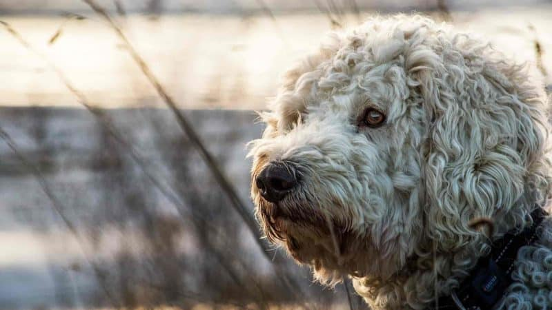 Crate training a Goldendoodle puppy