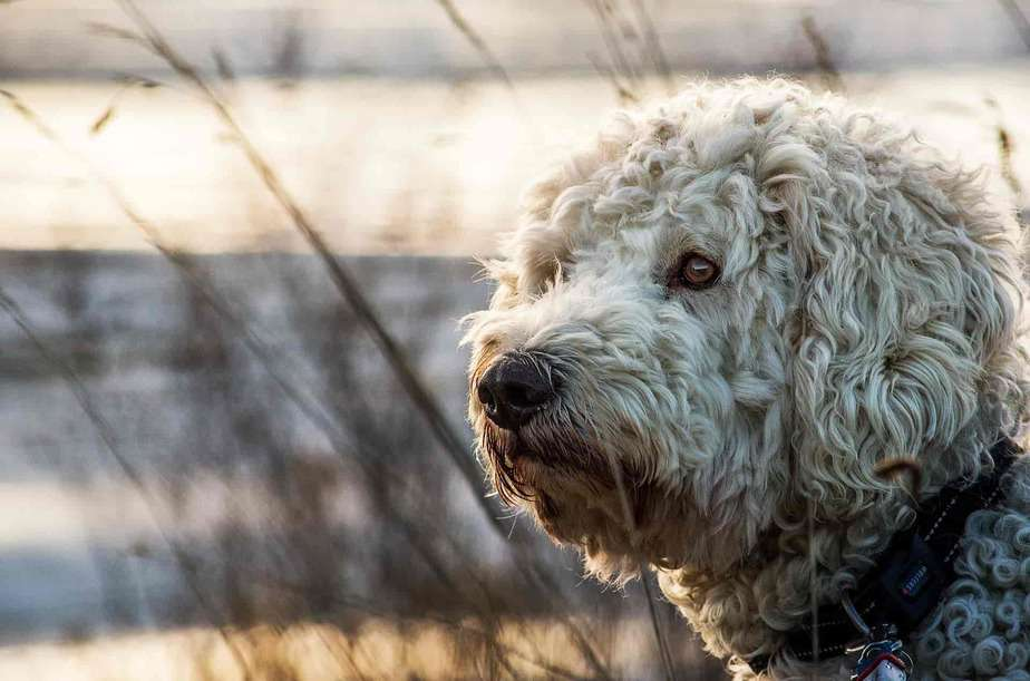 Crate training a Goldendoodle in 5 easy steps
