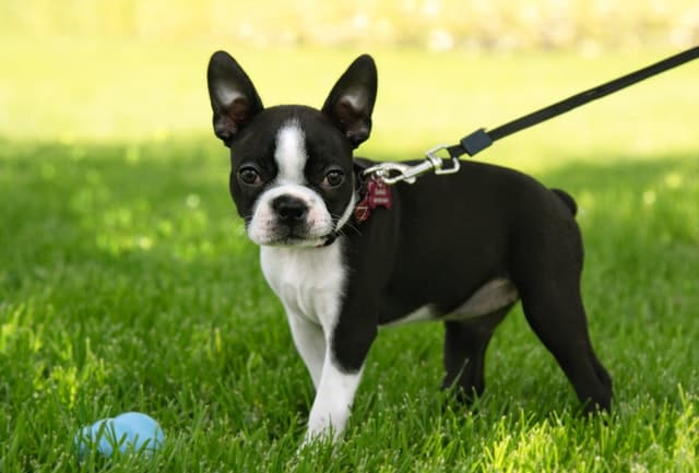 Crate training your boston terrier