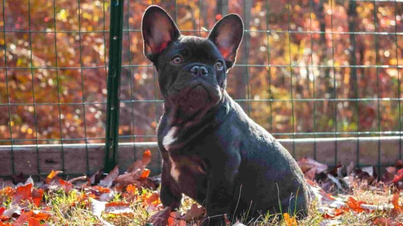 Best crate for french bulldog