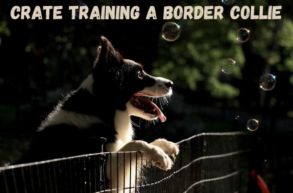 Crate training a border collie