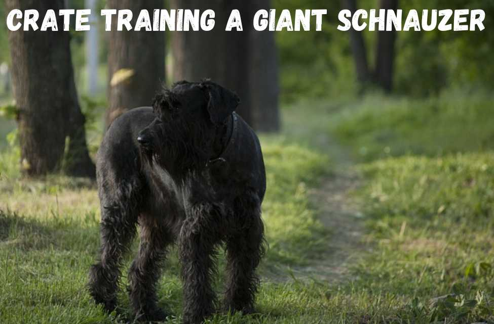 Crate training a giant schnauzer