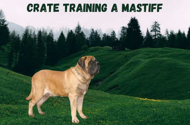 Crate training a mastiff puppy