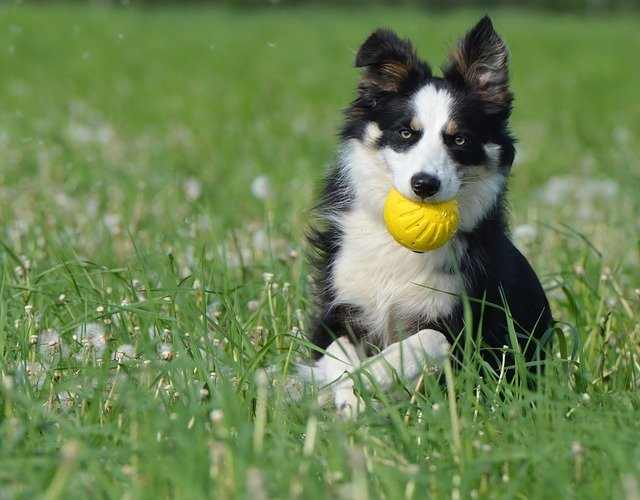 best chew toy for a border collie
