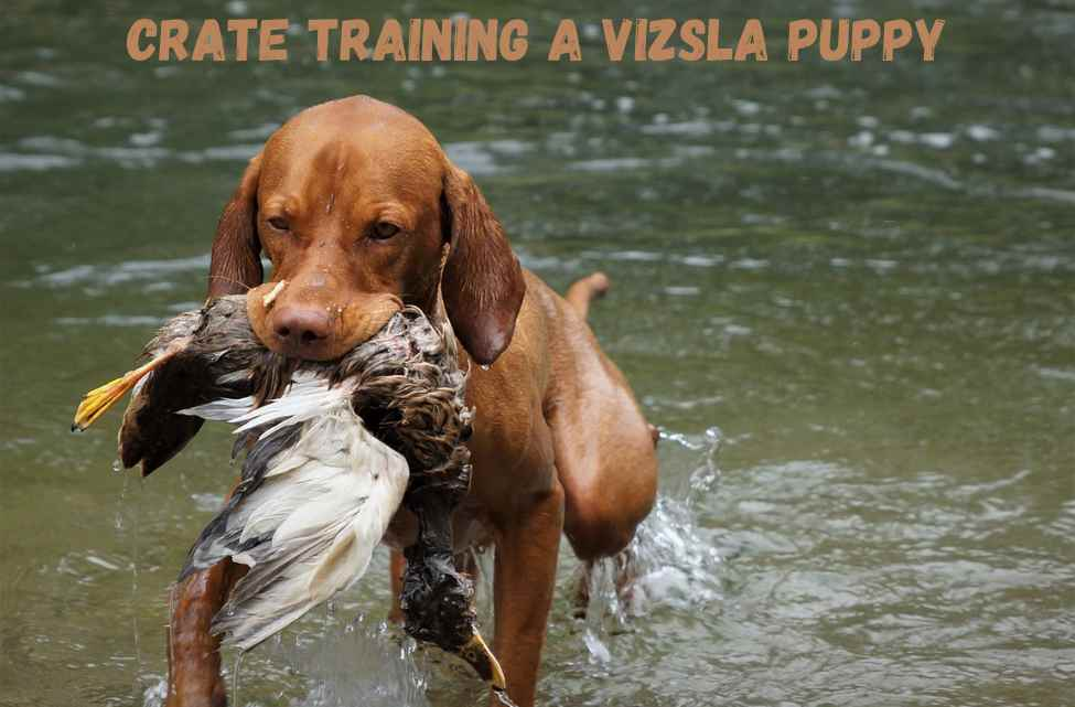 Crate training a vizsla puppy