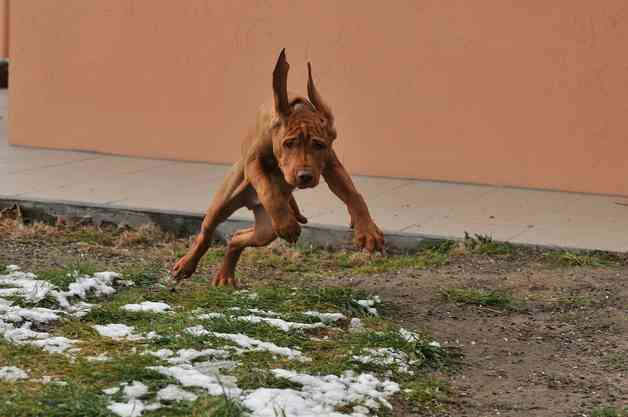 How to crate train a Vizsla puppy